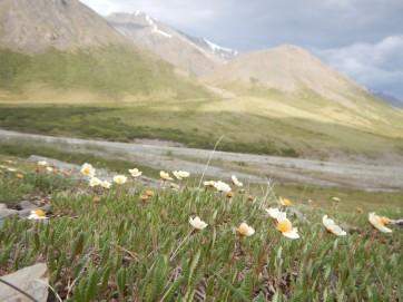 Flowers in the Arctic.
